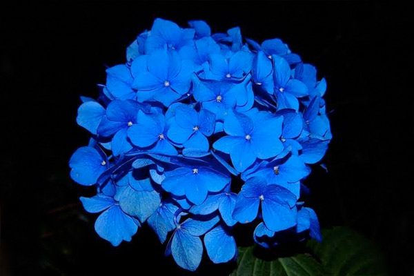 7 unknown facts about the impeccable blue rose