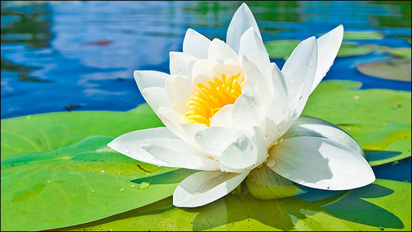 Water Lily with Therapeutic Benefits