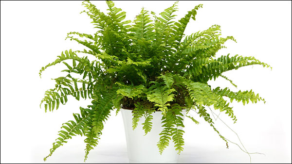Boston Fern Plant - One of the Best Natural Humidifier