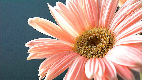 Pink Gerbera Daisy - Can Make Your Sleep Peaceful & Treat Insomnia