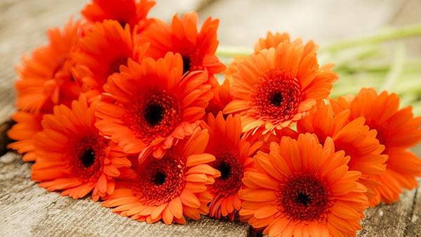 Meaning and significance of orange gerberas