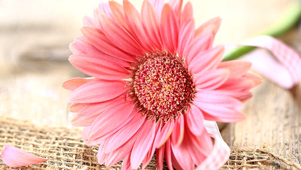 Meaning of orange gerberas and their significance