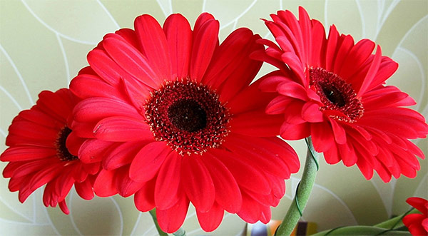 What red gerberas signify