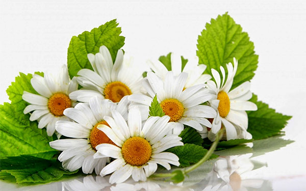 White gerberas meaning and their significance