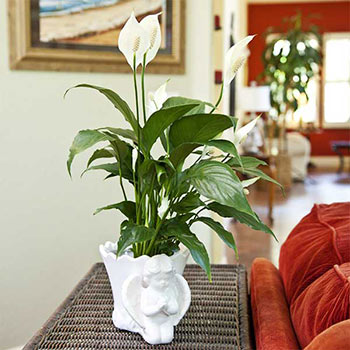 Peace Lily Air Filtering Plant