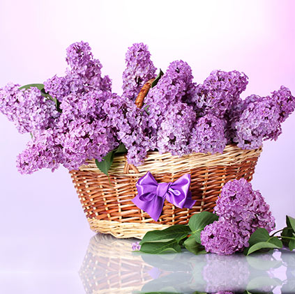 Uses of Lavender flowers and its health benefits