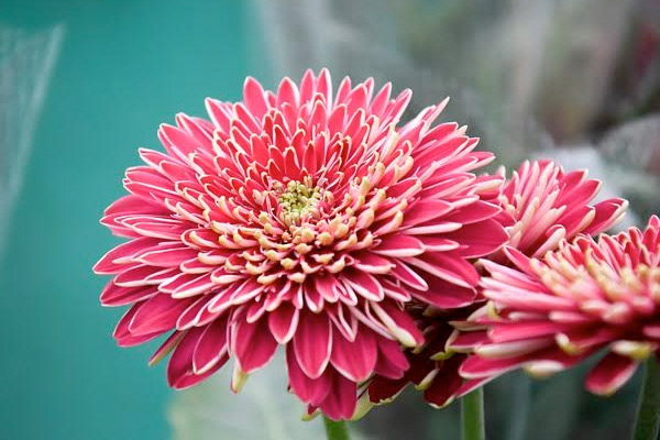 November Birthday Flowers Chrysanthemum