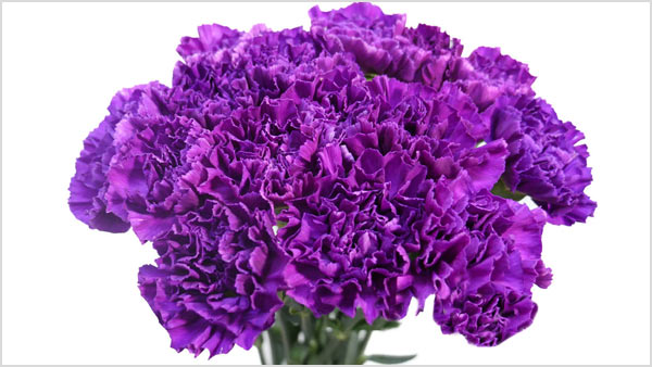 Purple Carnation - What Purple carnations resemble