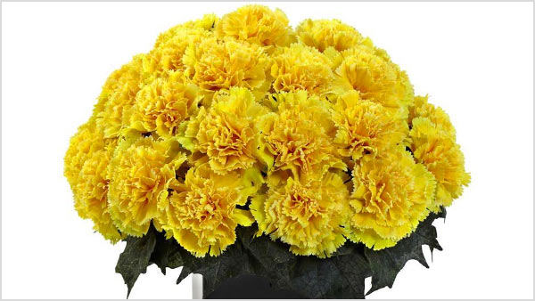 Yellow Carnation - Know what yellow carnations express