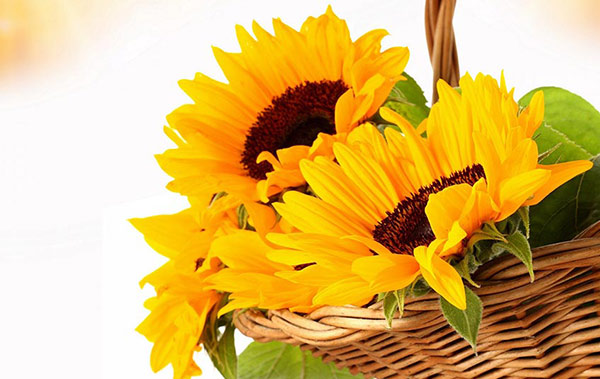 Facts related to human who like Sunflower