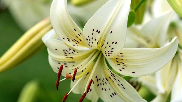 A beautiful white lily flower its symbolization and purpose to gift