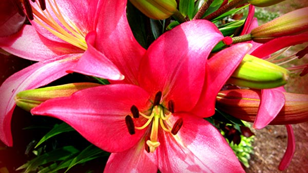 A beautiful pink lily flower its symbolization and purpose to gift
