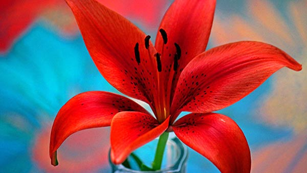 A beautiful red lily flower its symbolization and purpose to gift