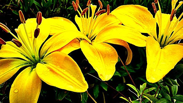 A beautiful yellow lily flower its symbolization and purpose to gift