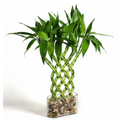 Ten 6 Inch Straight Lucky Bamboo For gardening and Feng Shui Gifting