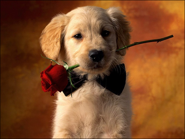 A Dog with red rose in the mouth best way to propose a animal lover girl